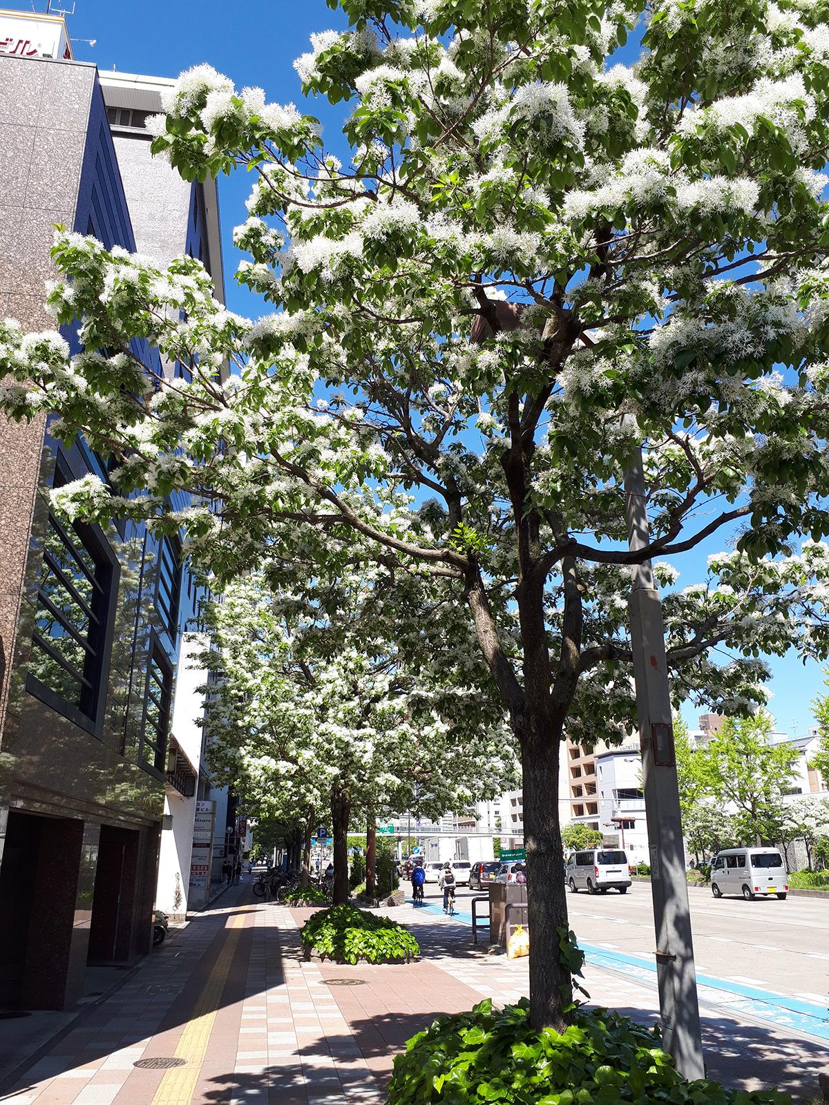 真っ白な花を咲かせるヒトツバタゴ(一つ葉田子)
